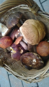 Sběr hub v Krkonoších